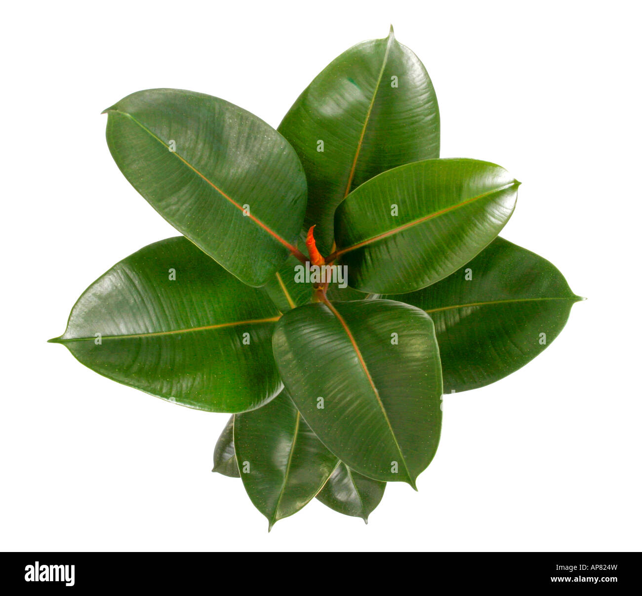 Hong Kong House Indian Rubber Tree Rubber Plant Ficus Elastica Potted