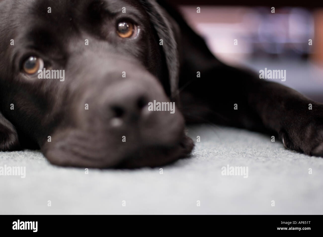 Buster looks sadly at the camera - Stock Image