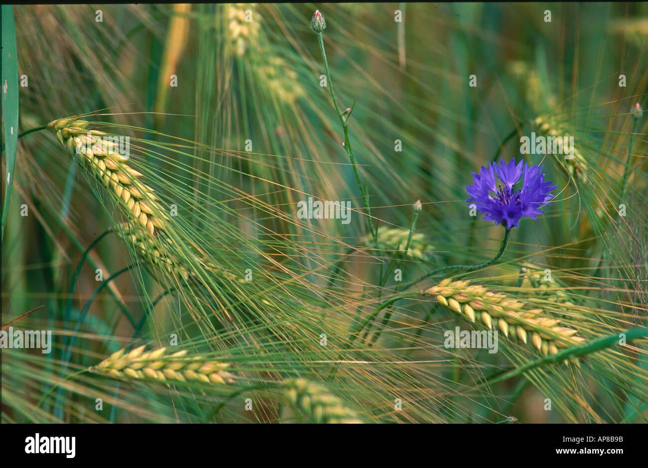 Cornflower blooming in barley field, Flaeming, Germany - Stock Image