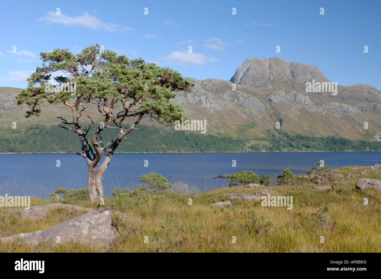 Solitary pine tree, Loch Maree & Slioch Mountain Kinlochewe, Wester Ross. Scottish Highlands.  XPL 3515-342 - Stock Image