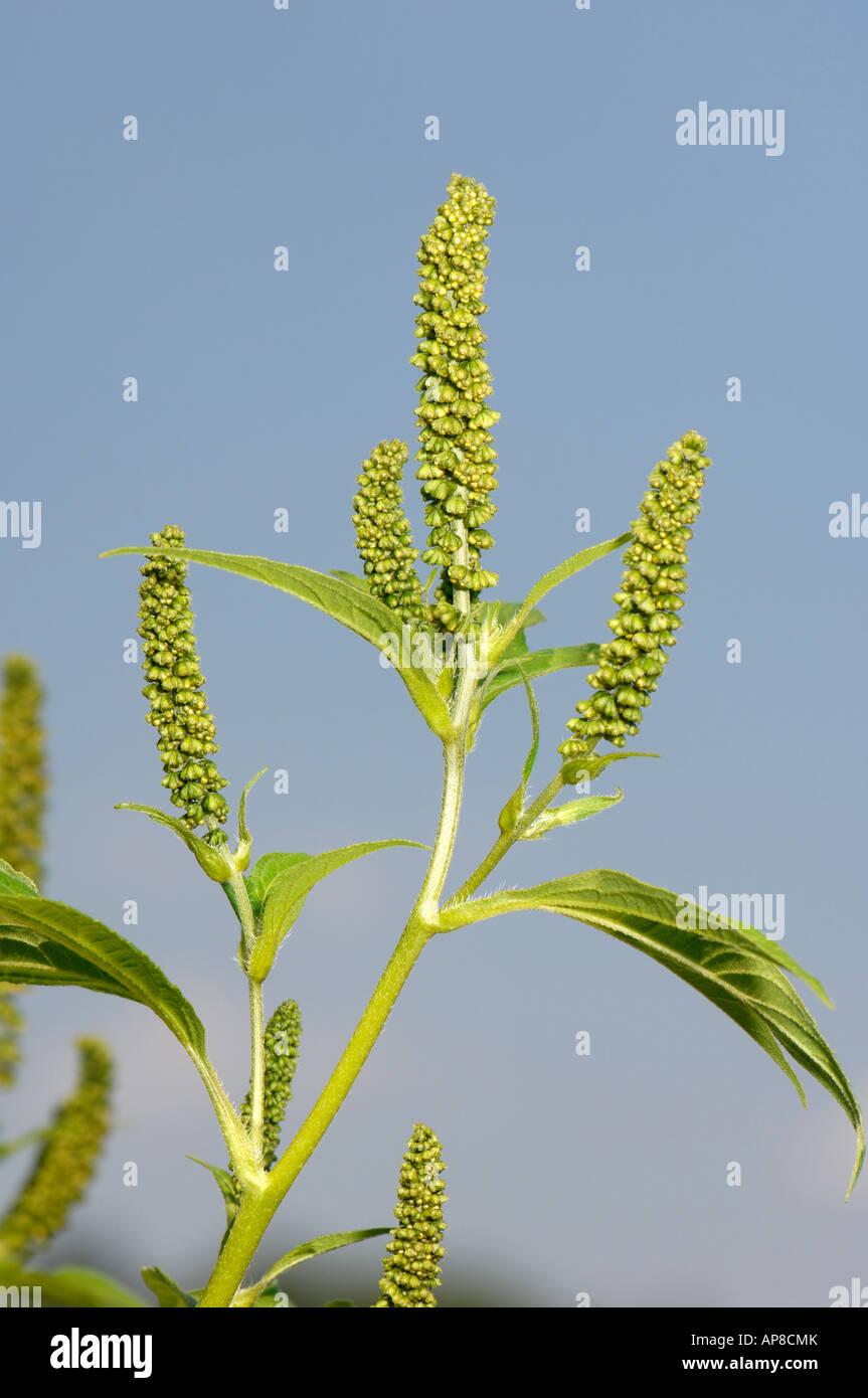 Giant Ragweed (Ambrosia trifida), flowering Stock Photo