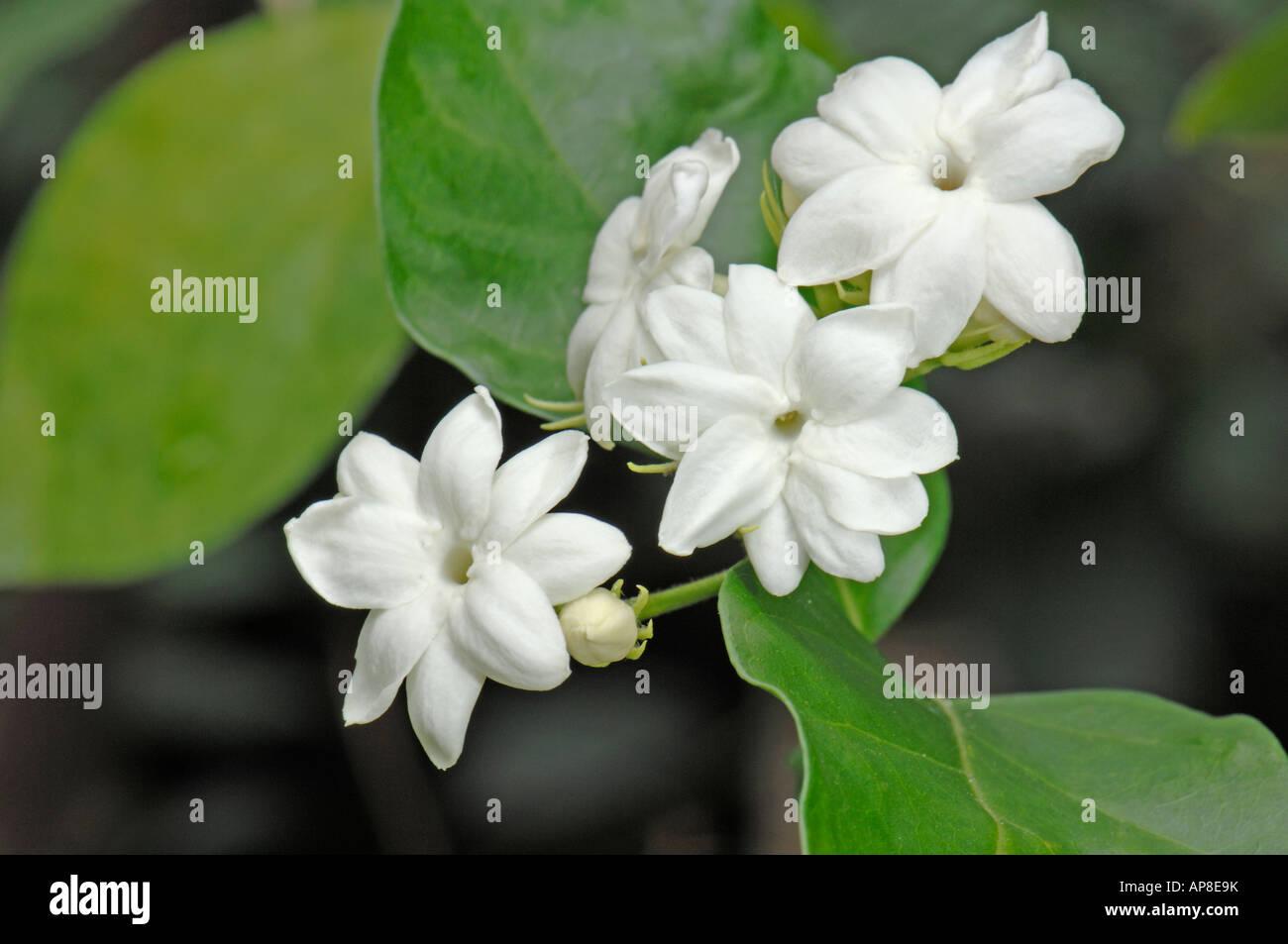 Arabian Jasmine (Jasminum sambac), flowering twig - Stock Image