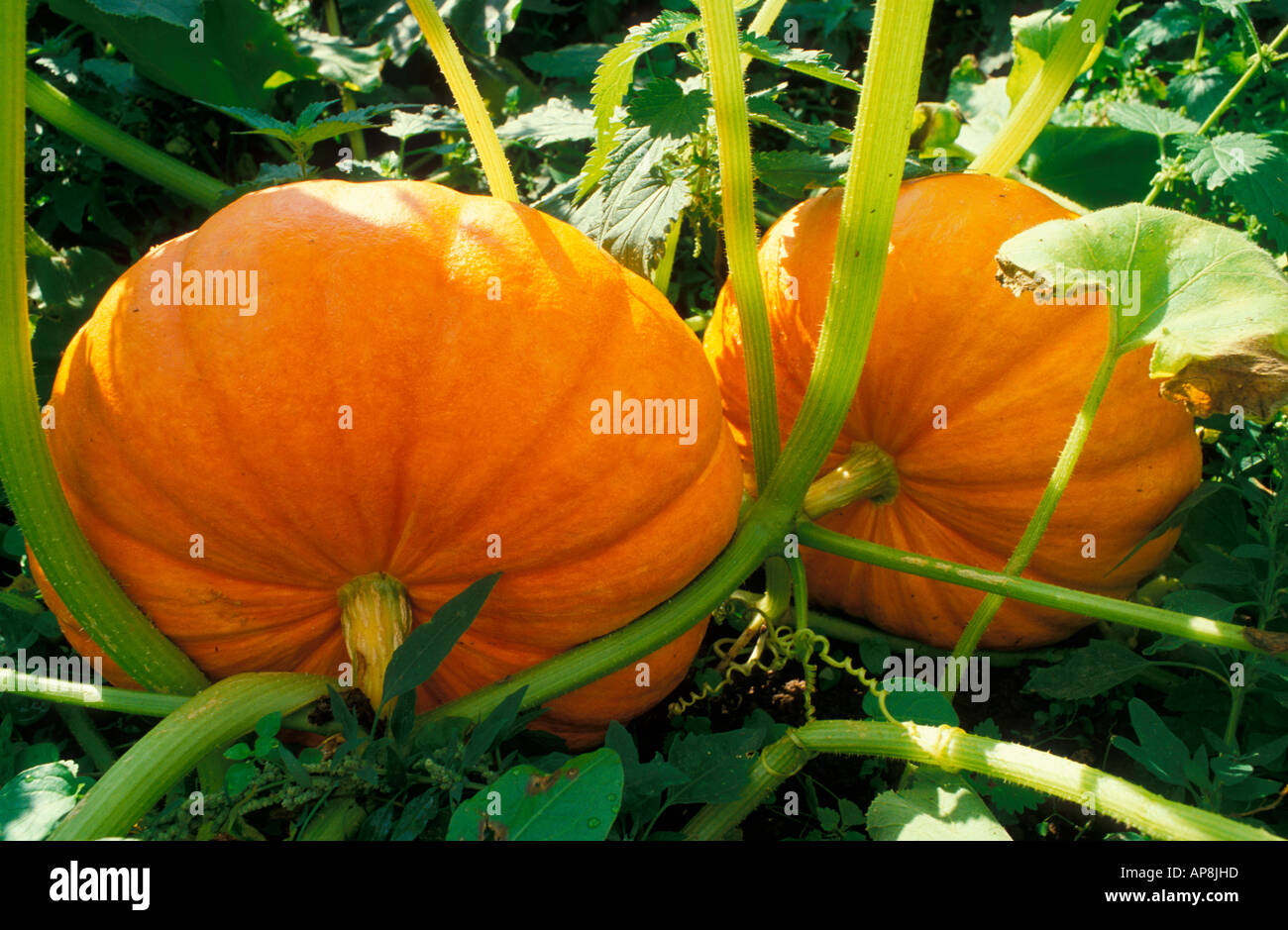 Pumpkins growing Slindon Sussex England UK - Stock Image