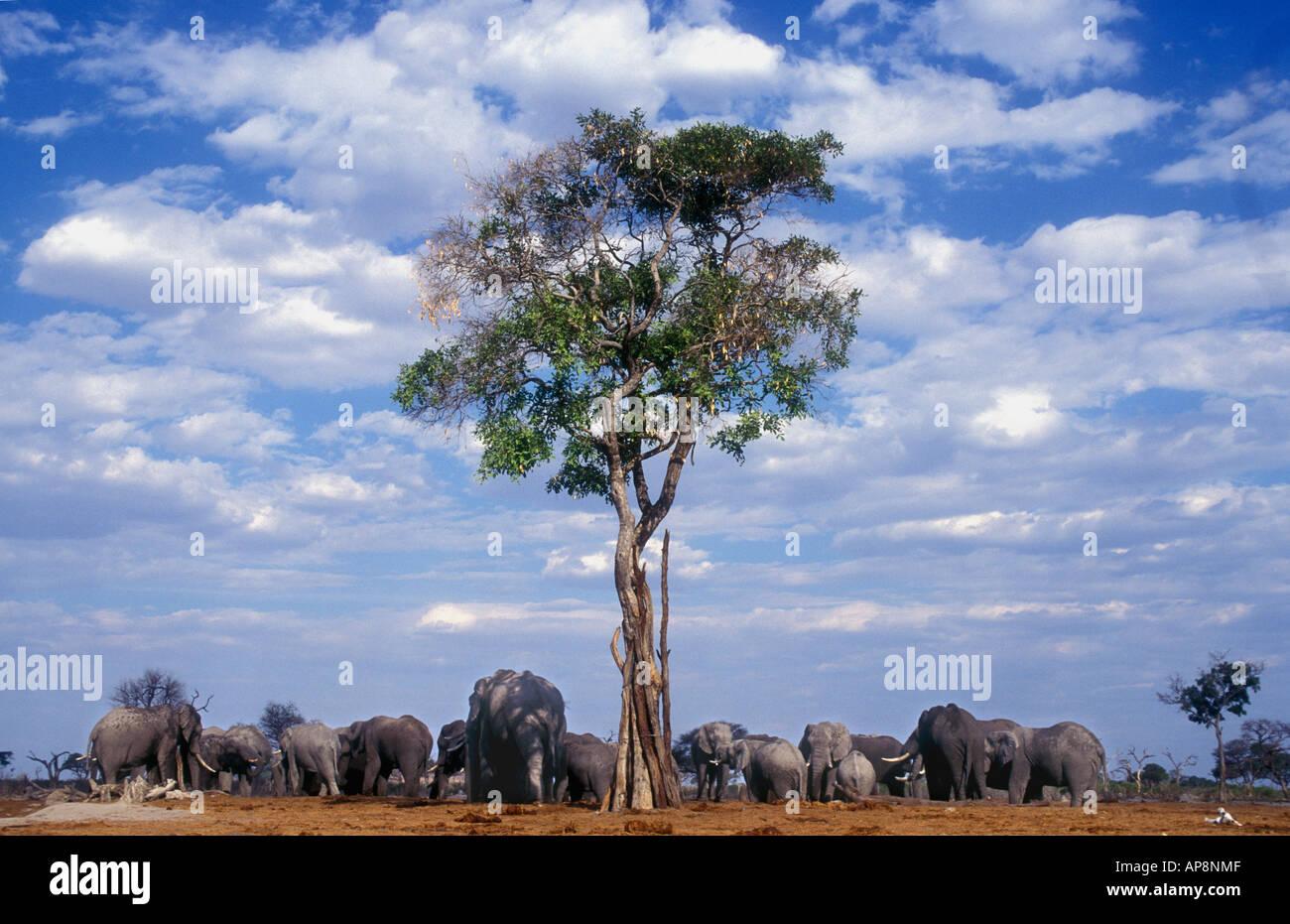 Elephant family herd clustered around tree and waterhole near Savuti South Camp Chobe National Park Botswana - Stock Image