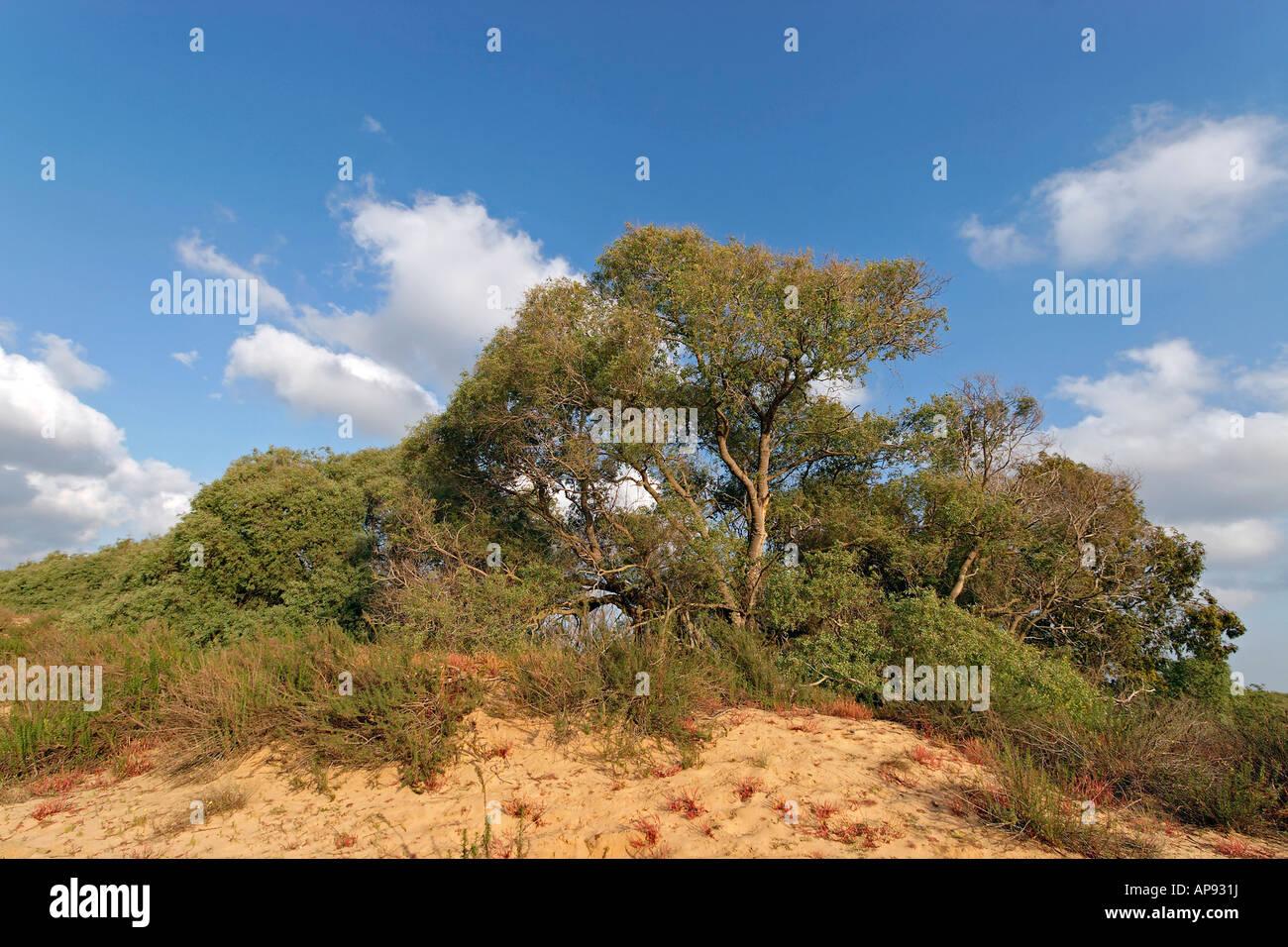 Israel Coastal Plain Euphrates Poplar trees Populus Euphratica in Nitzanim - Stock Image