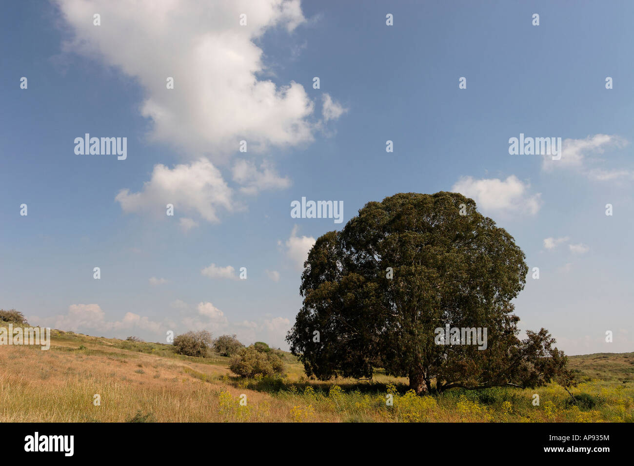 Israel Coastal Plain Eucalyptus tree in Wadi Hatzav - Stock Image
