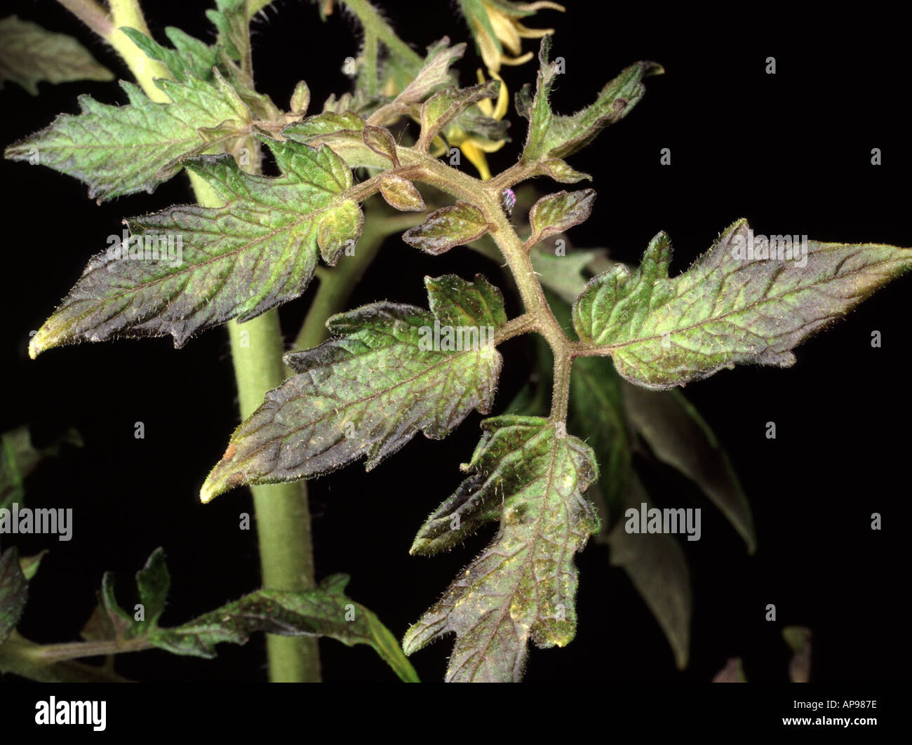 Close up of tomato leaf with Phosphorus deficiency showing discolouration - Stock Image