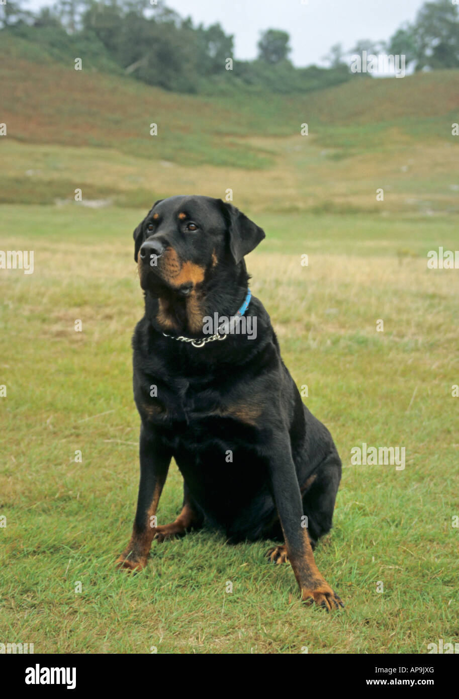 rottweiler dog sitting down these dogs have been known to be Stock ... for Rottweiler Dog Attacking People  56mzq