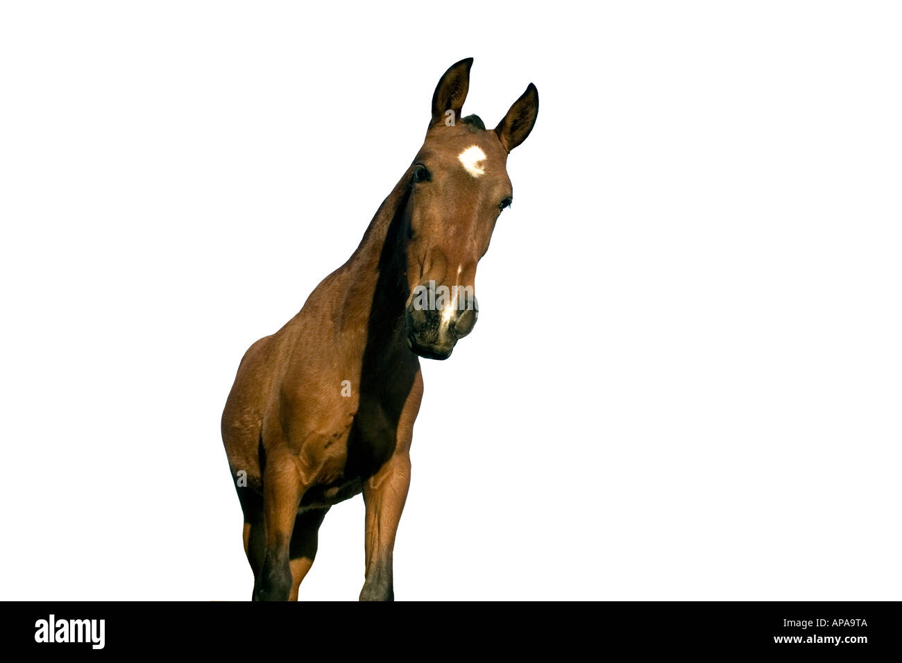 Spanish campo horse pony star stylised stylized cut out cut out plain white background - Stock Image
