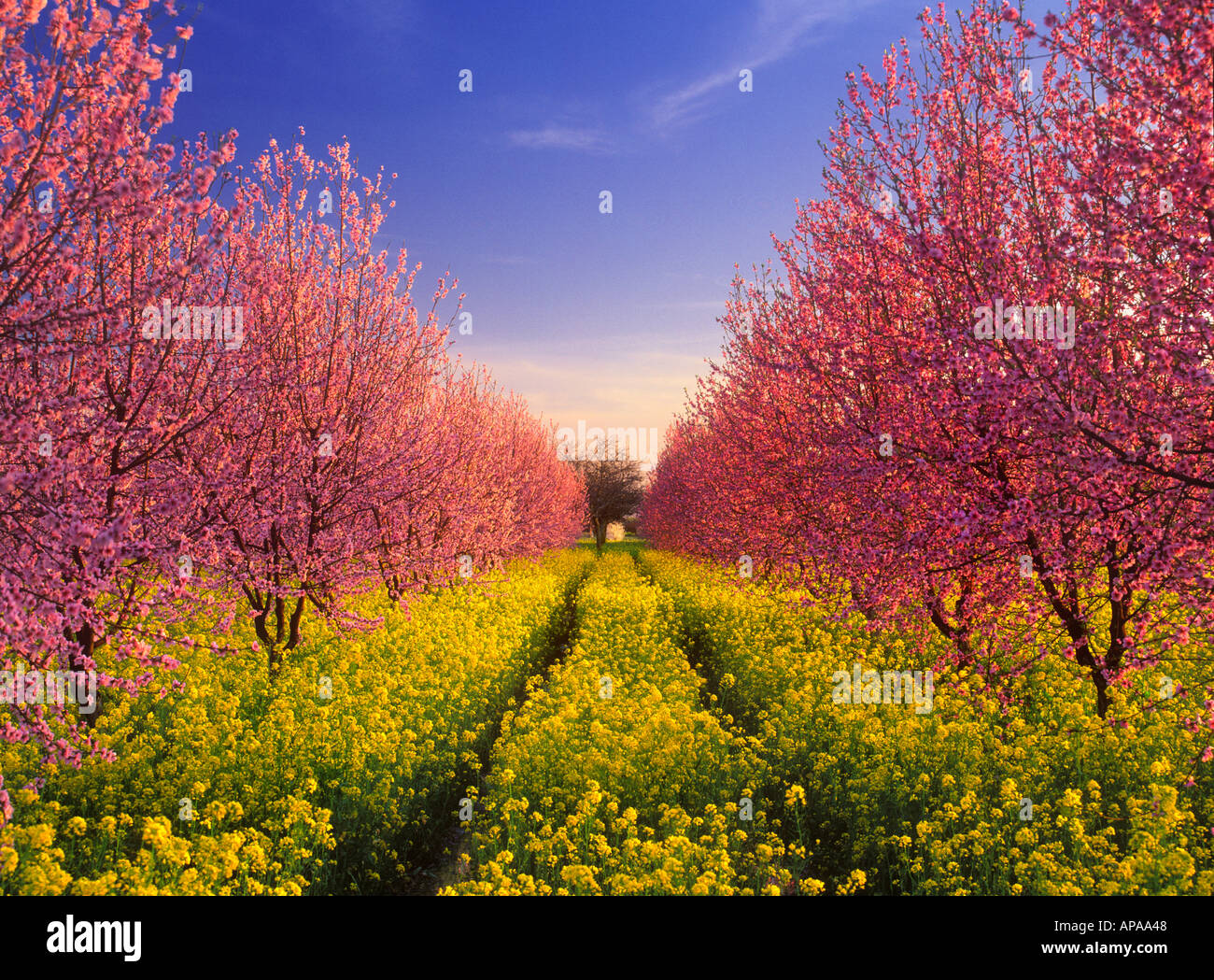 Pink peach blossoms with wild yellow mustard bloom in a peach orchard - Stock Image