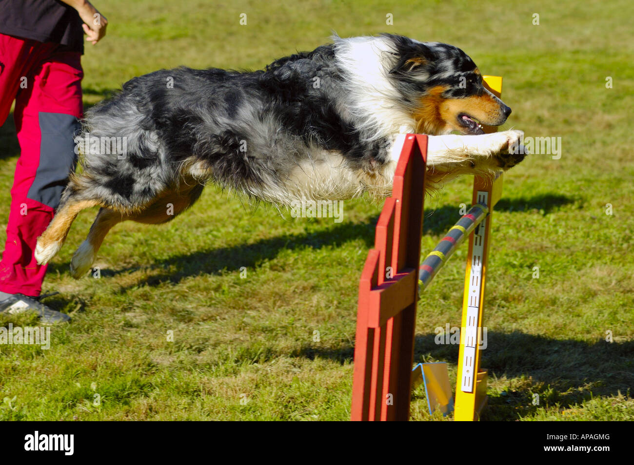 A dog competing in agility trials, jumping over an obstacle, its owner half out of the picture - Stock Image