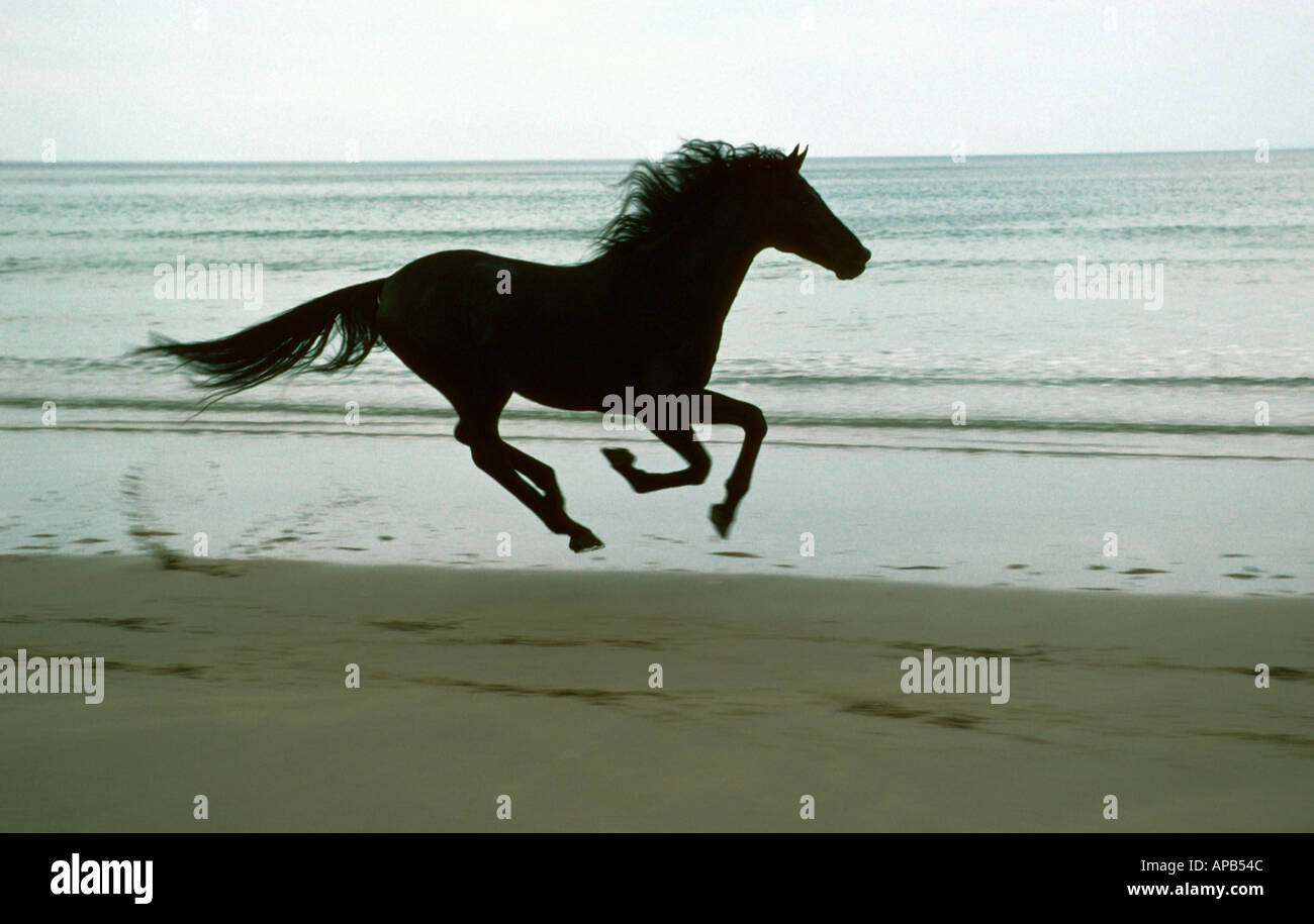 Black horse racing galloping along unspoiled uk coastline - Stock Image