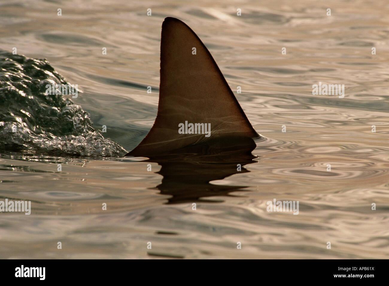 Blacktip shark Carcharhinus limbatus Bahamas Atlantic Ocean Stock Photo
