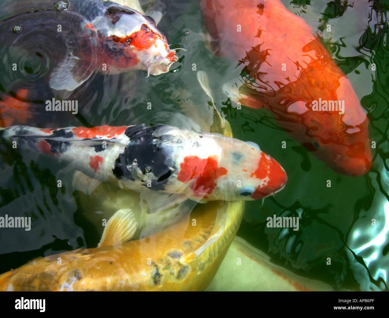 Koi carp swimming. - Stock Image