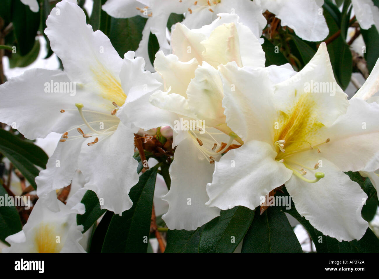 Flowers Of Fragrant Spring Flowering Plant Rhododendron Veitchianum