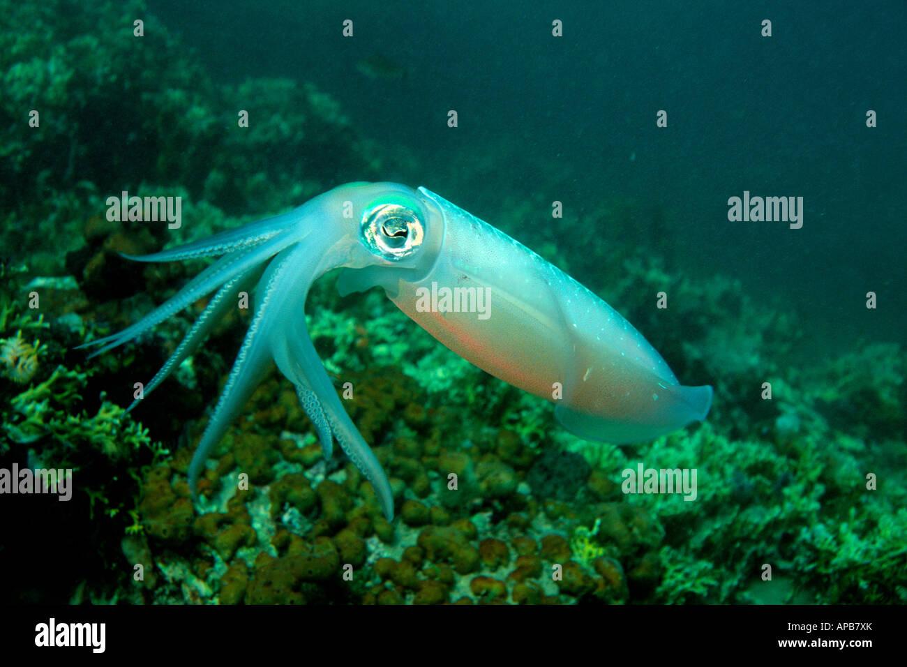 Caribbean reef squid Sepioteuthis sepioidea Venezuela Atlantic Ocean - Stock Image