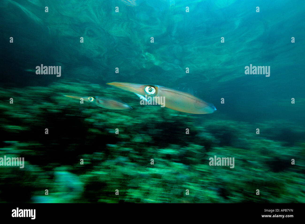 Caribbean reef squid showing jet propulsion Sepioteuthis sepioidea Venezuela Atlantic Ocean - Stock Image
