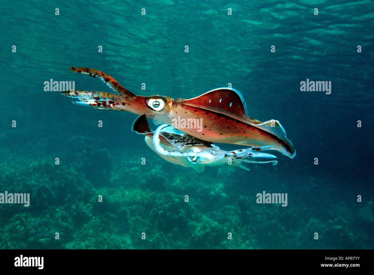 Caribbean reef squid threat display Sepioteuthis sepioidea Venezuela Atlantic Ocean - Stock Image