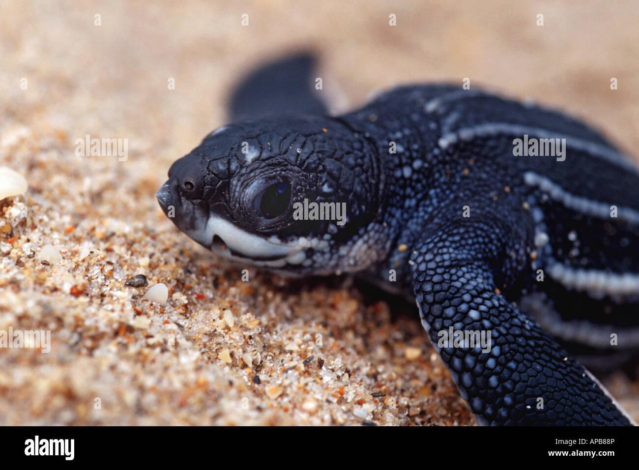 Leatherback Turtle Dermochelys coriacea - Stock Image