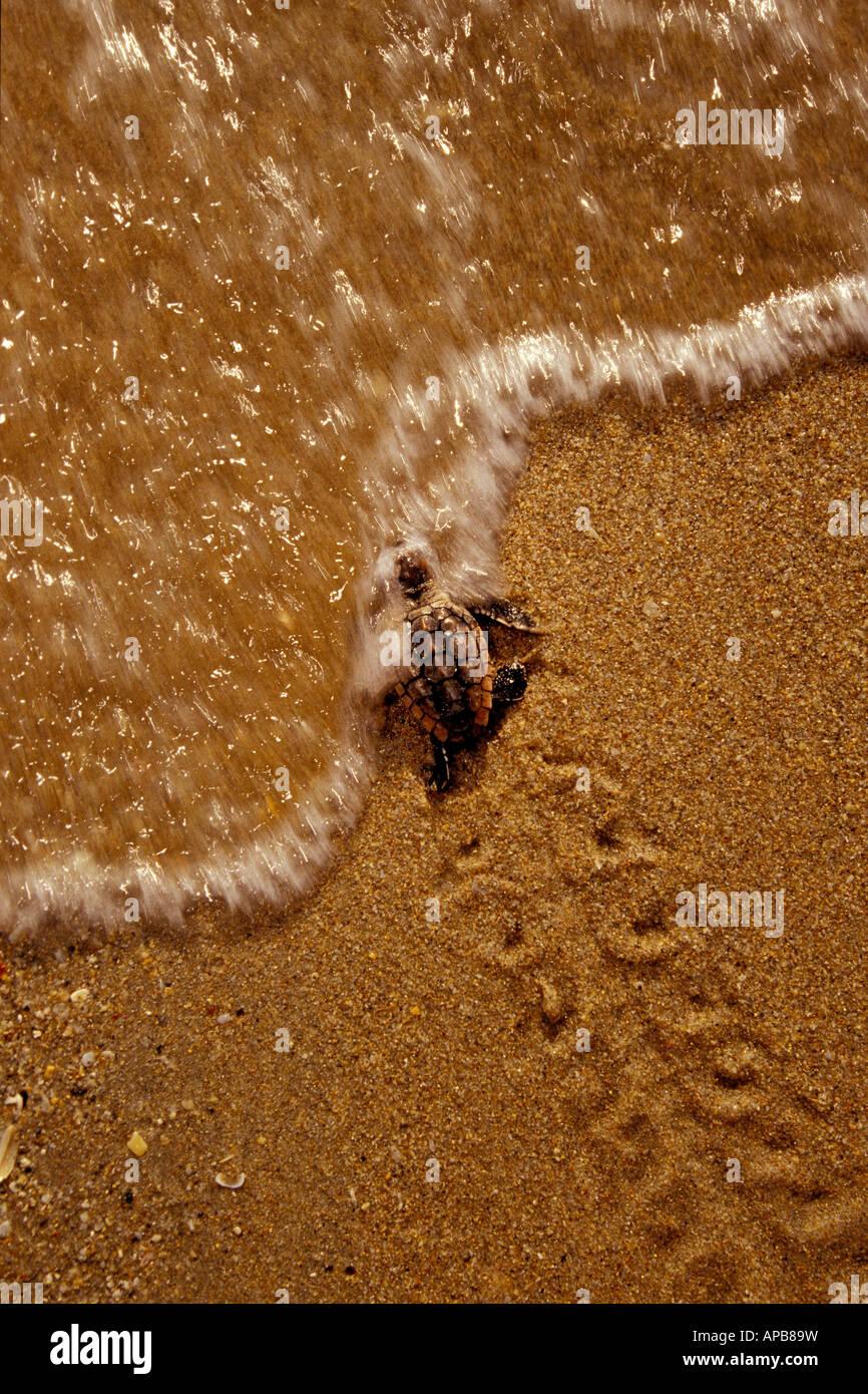 Loggerhead turtle Caretta caretta - Stock Image