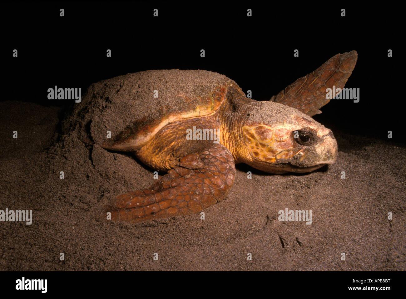 Loggerhead turtle Caretta caretta nesting - Stock Image