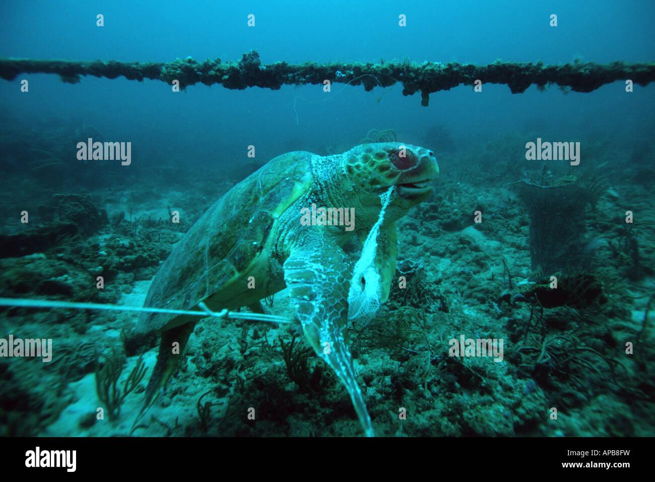 Loggerhead sea turtle entanglement - Stock Image