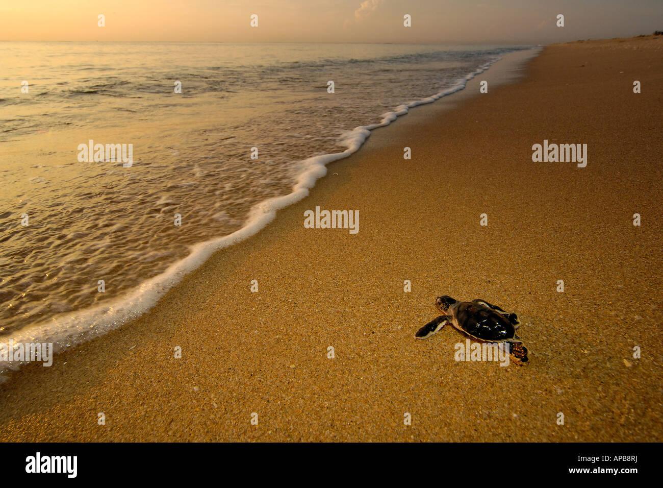 Green sea turtle Chelonia mydas - Stock Image