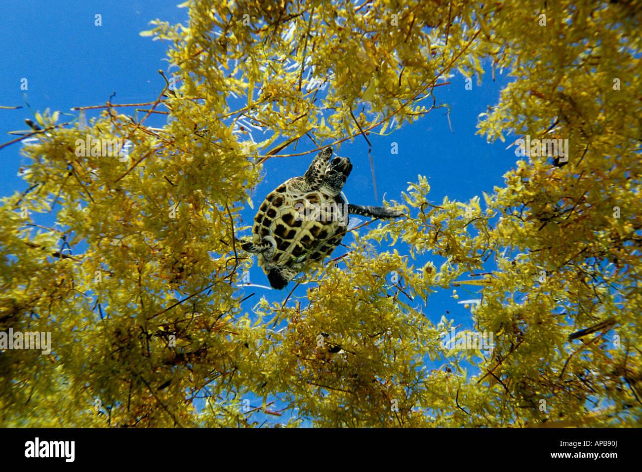 Hawksbill turtle in sargassum weed Eretmochelys imbricata Florida Atlantic Ocean - Stock Image
