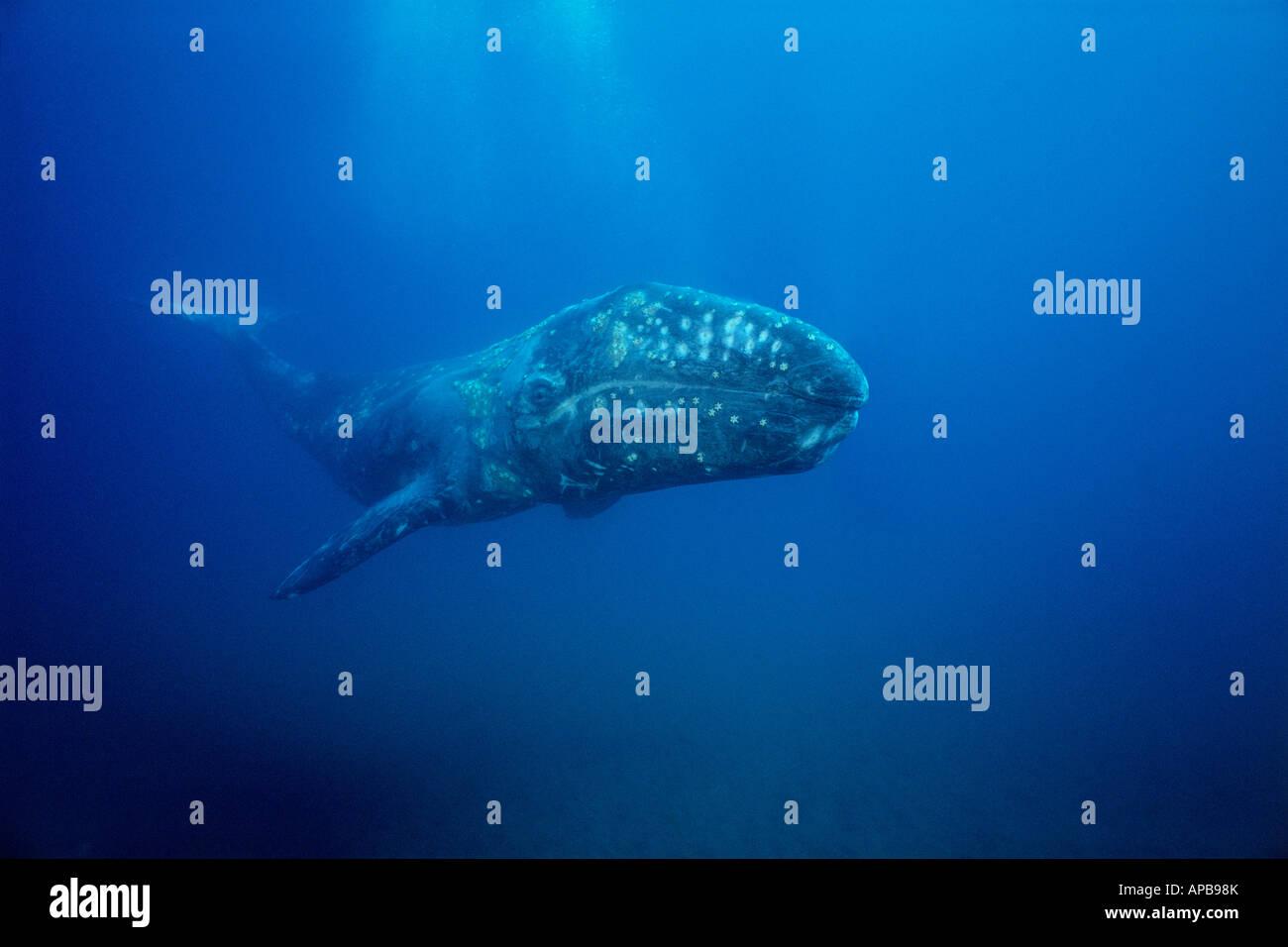 Gray whale Eschrichtius robustus - Stock Image