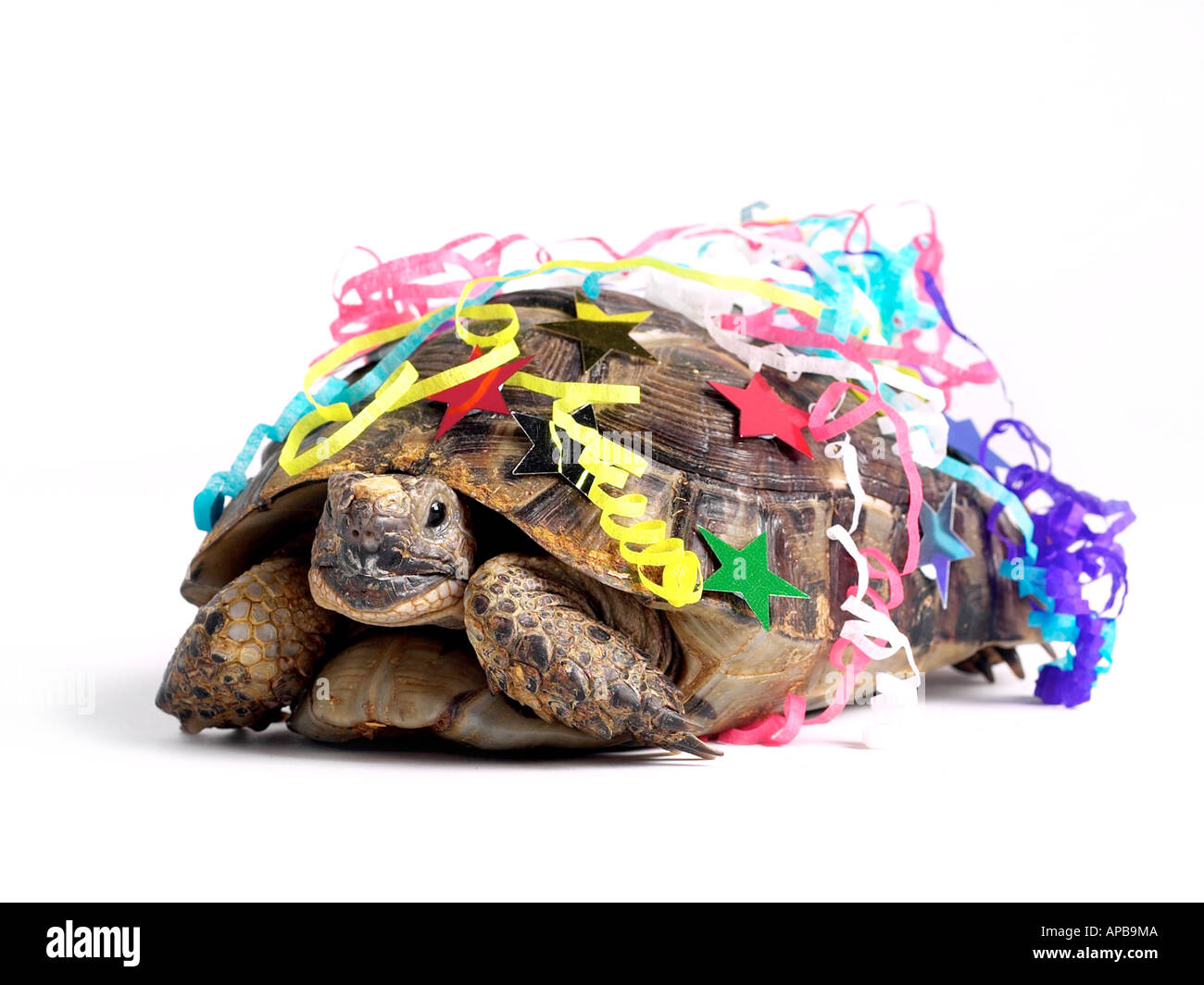 A tortoise dressed as a party animal. - Stock Image