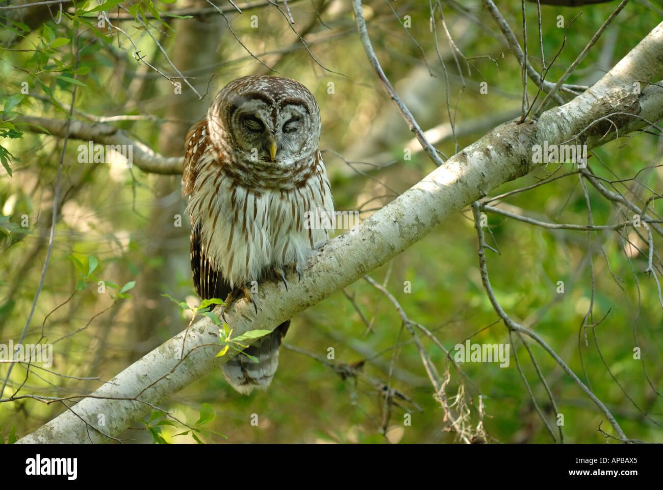 Wild owl caught sleeping in the woods Stock Photo