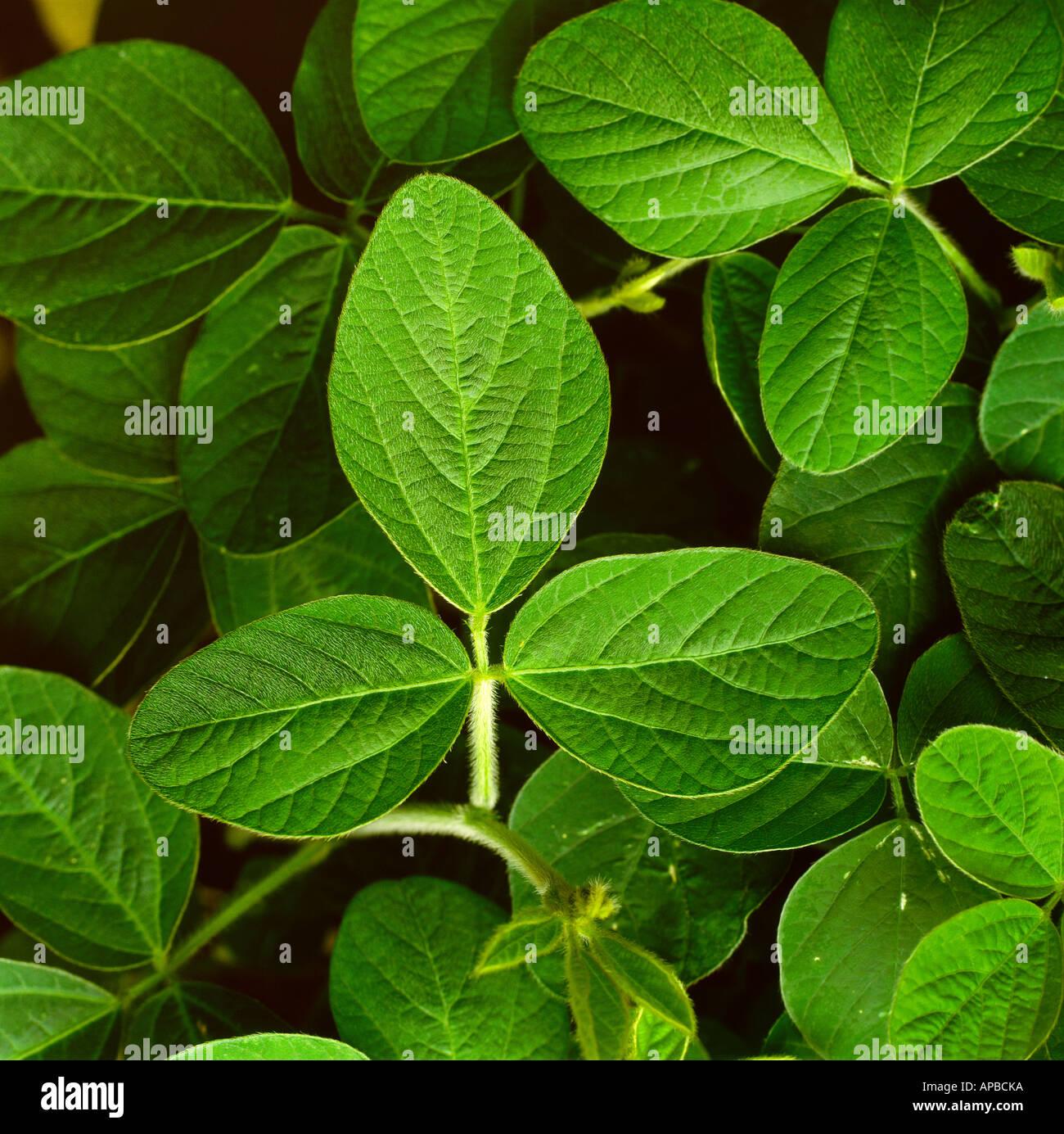 soybean plant stock photos soybean plant stock images alamy