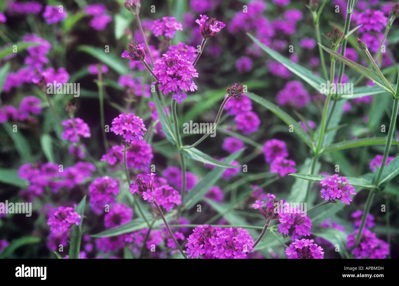 Stems of tiny pink purple flowers of verbena bonariensis patagonica stems of tiny pink purple flowers of verbena bonariensis patagonica with dark green lance shaped leaves mightylinksfo