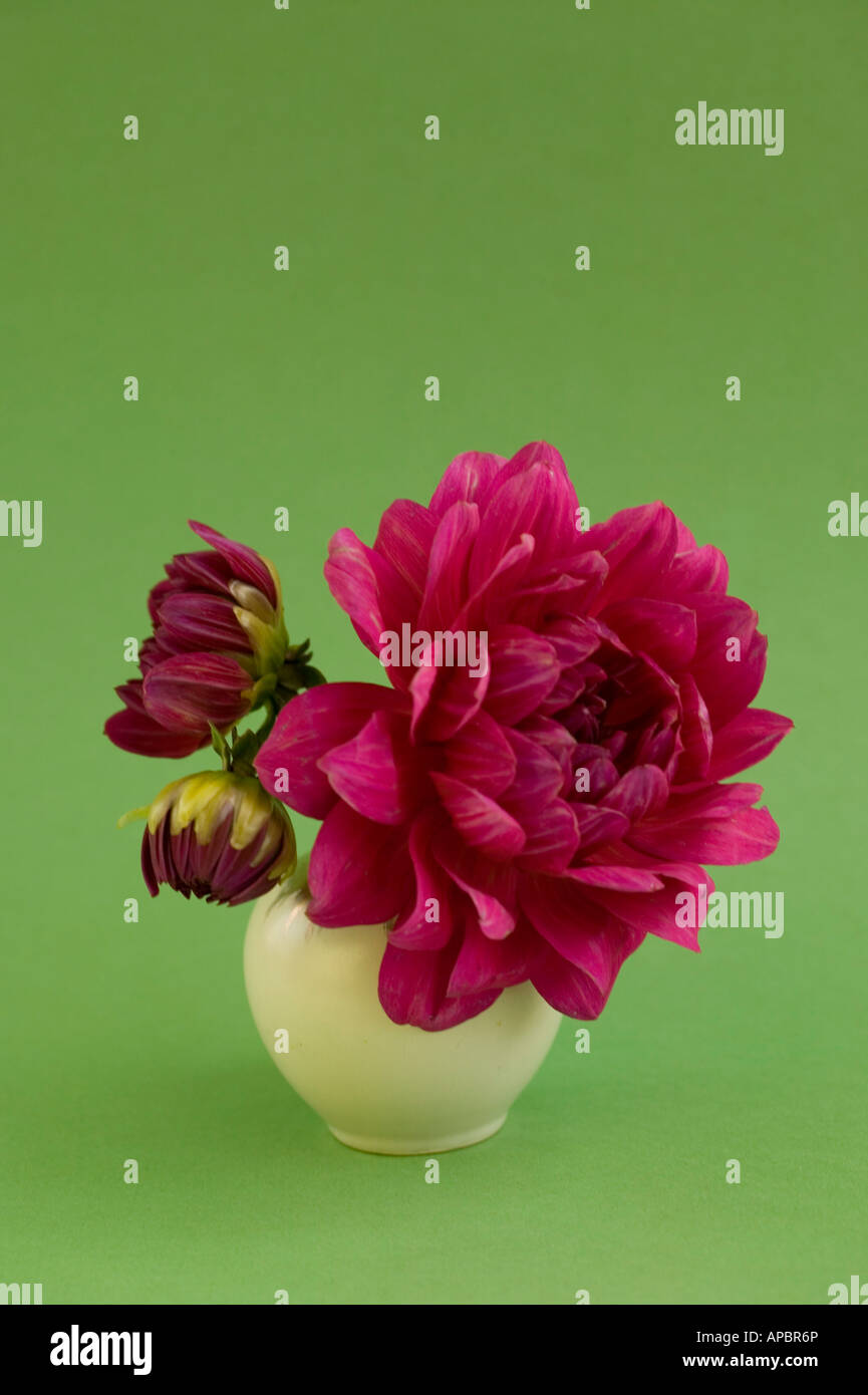 pink dahlia flower in white round vase on light green background simple romantic - Stock Image