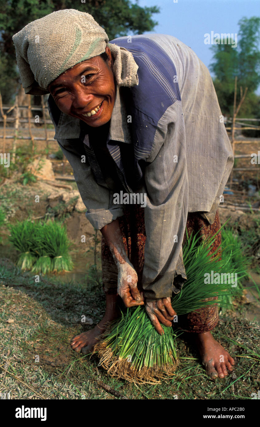 Working in the lush green rice paddy transplanting young rice Don Khong Mekong Islands S Laos - Stock Image