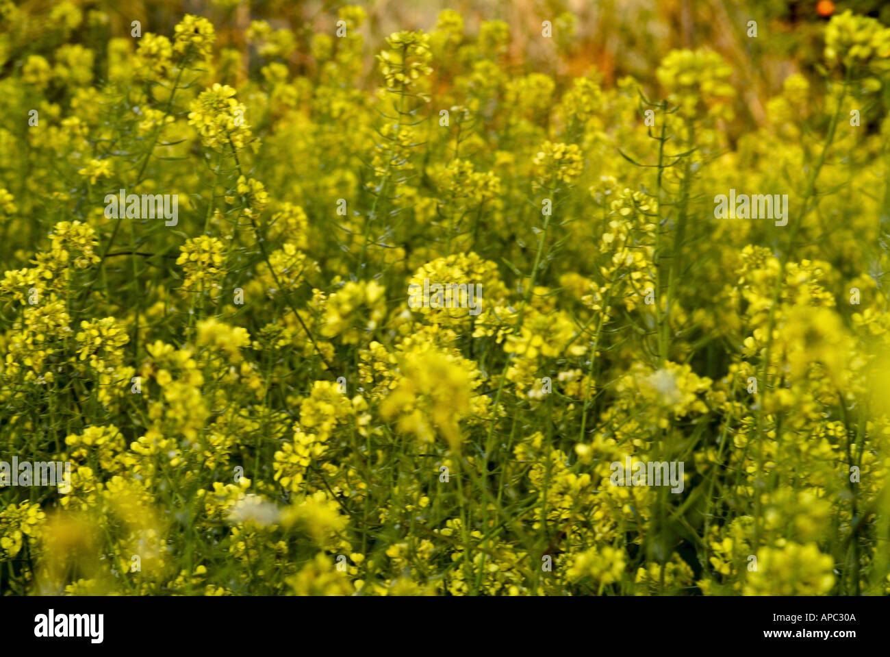 Wild Yellow Flowers Cyprus Stock Photo 1491721 Alamy