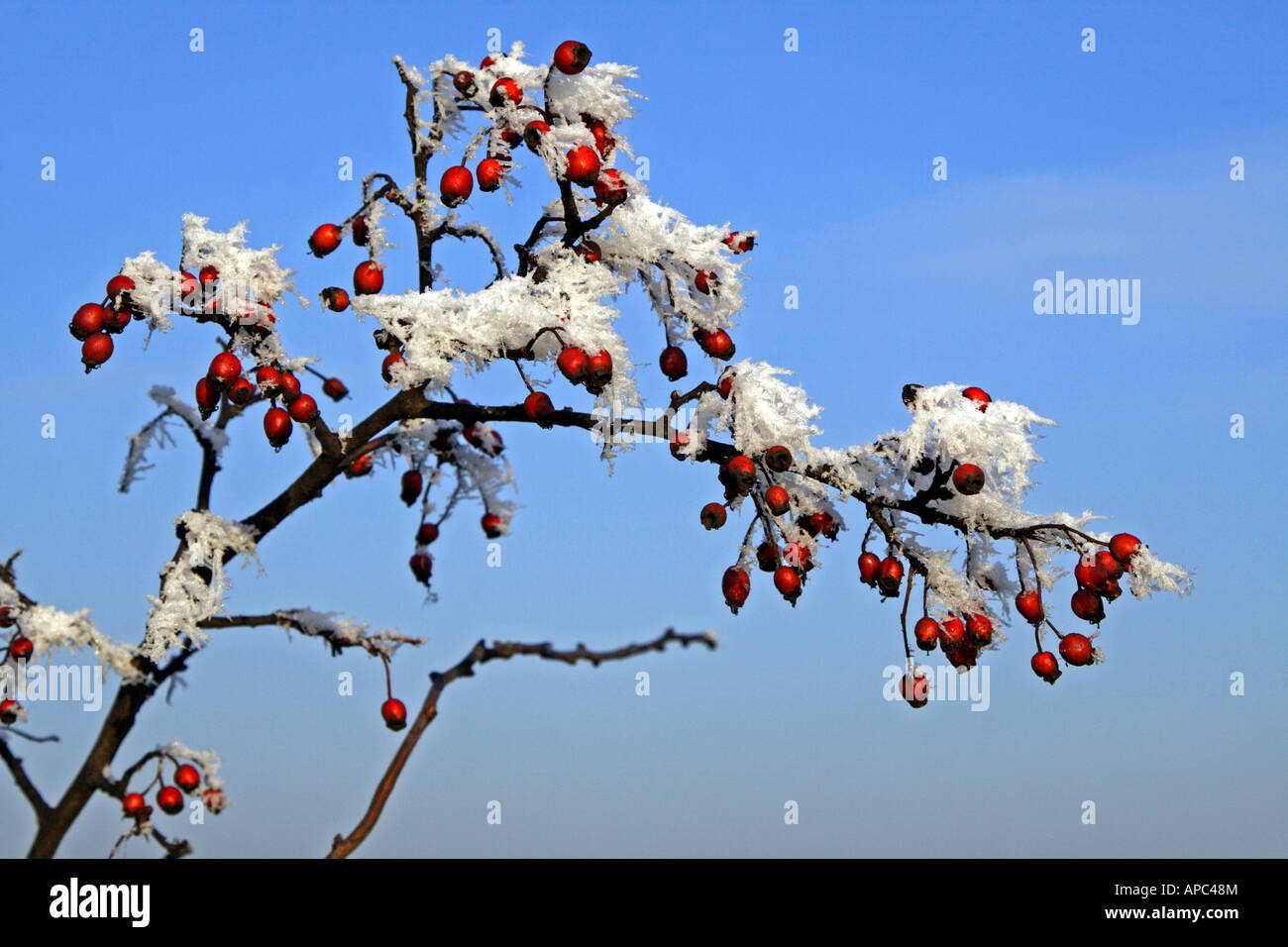 Close-up of some rose hips covered with hoar frost on a beautiful winter´s day Stock Photo