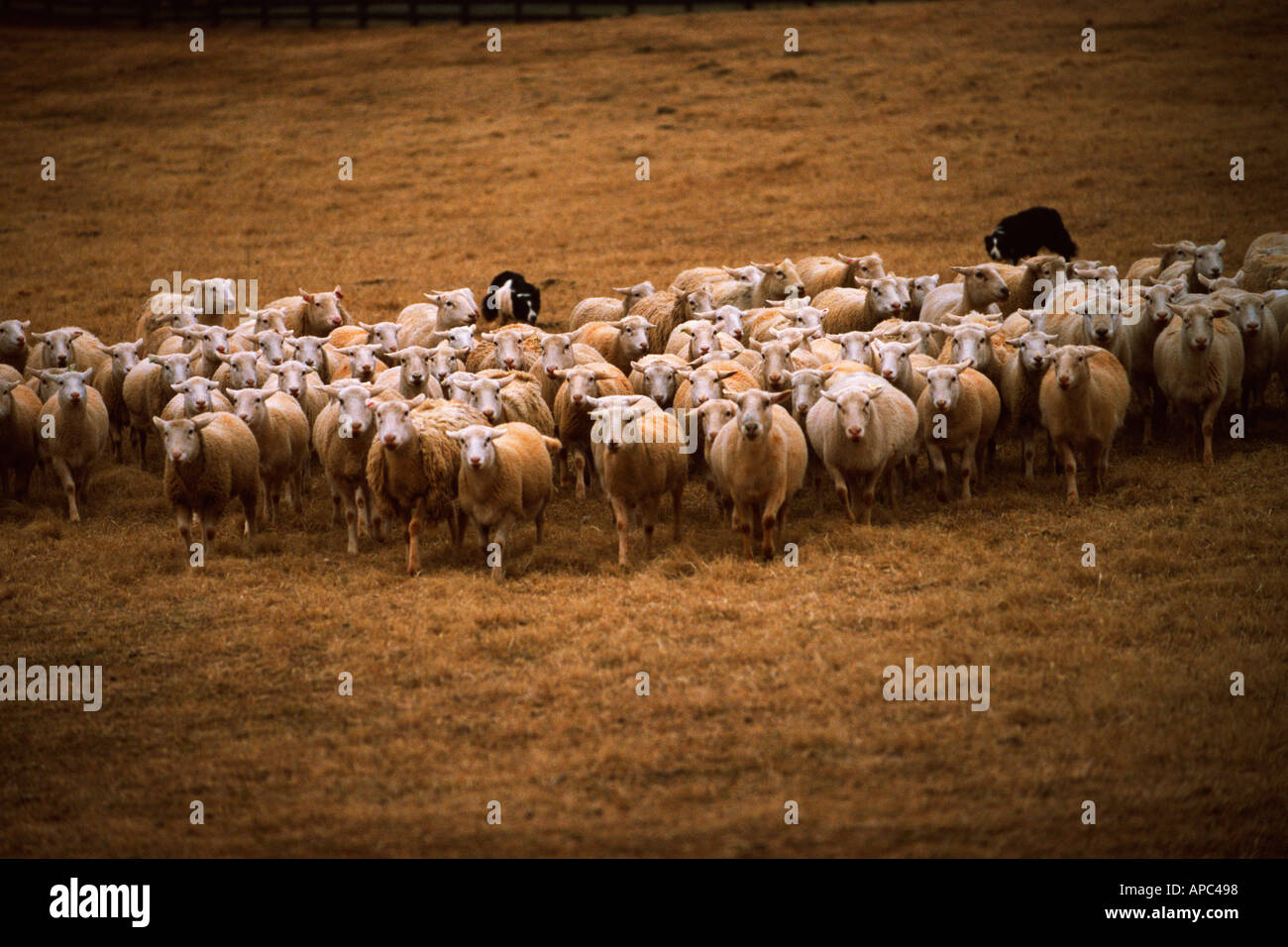 Sheep and Herding Dogs Stock Photo