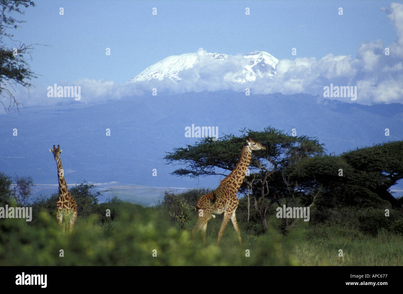 Masai or Common giraffe in Arusha National Park northern Tanzania with Kilimanjaro in the background - Stock Image