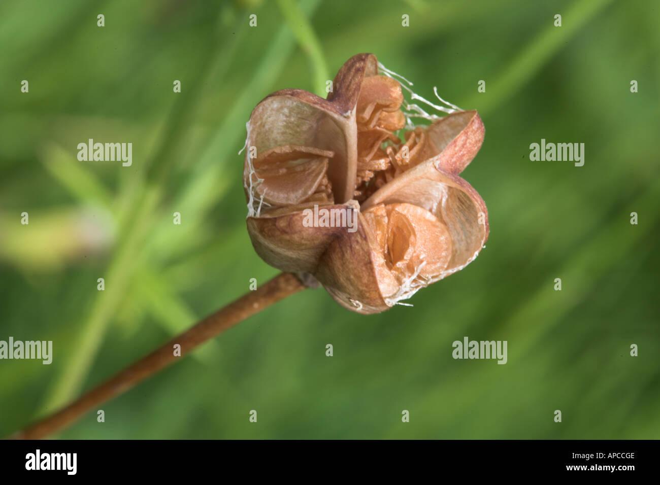 Snakes Head Fritillary Seed Pod High Resolution Stock Photography ...