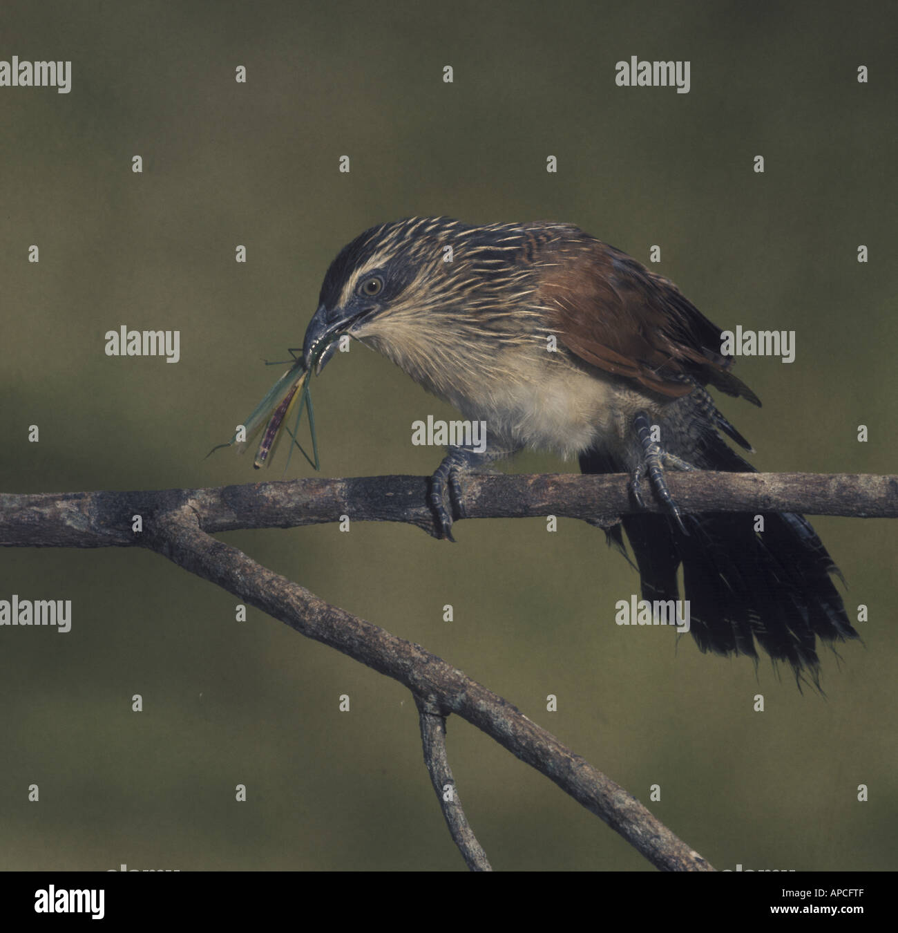 White browed coucal Centropus superciliosus immature bird - Stock Image