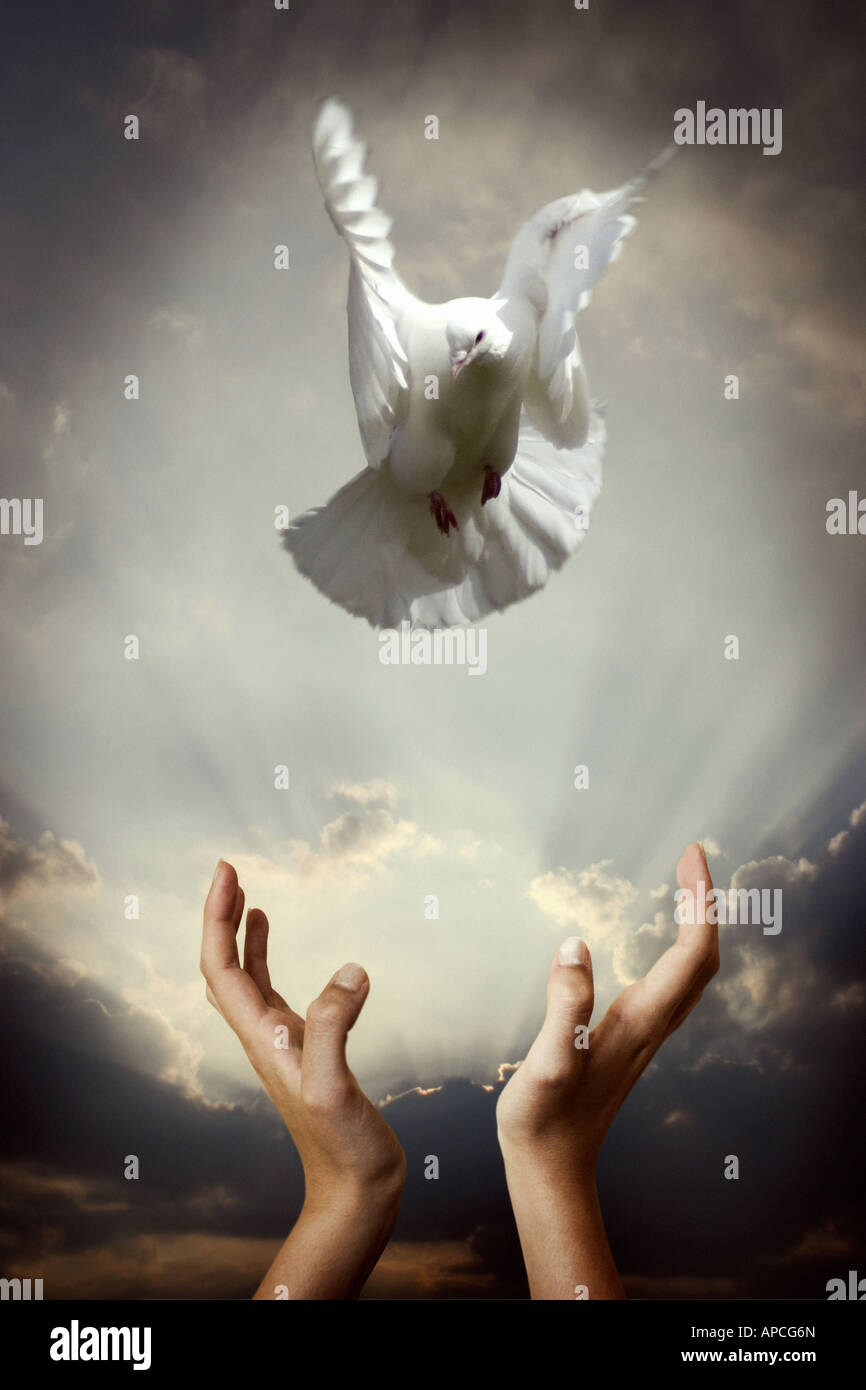 dove being released - Stock Image