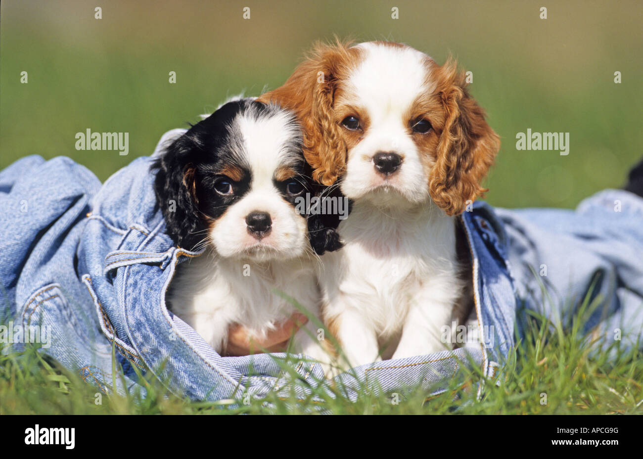 Cavalier King Charles Spaniel (Canis lupus familiaris), two puppies sitting in a jeans - Stock Image