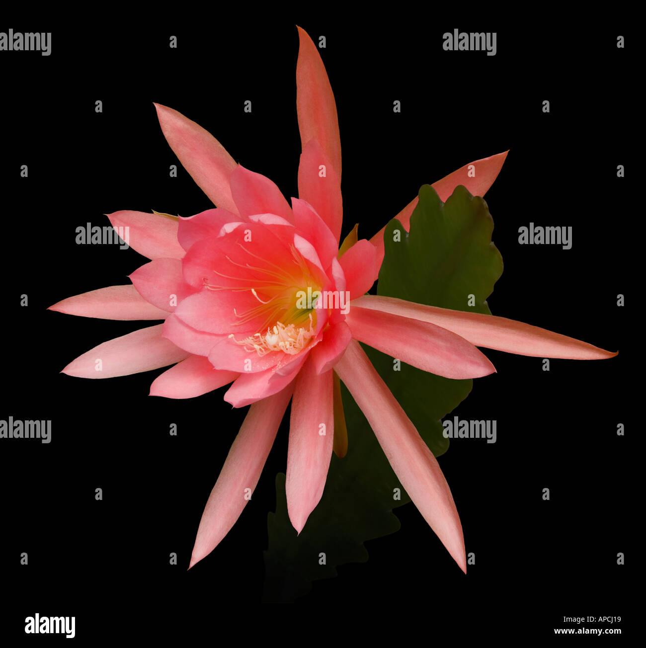 Cactus Epicactus cv 'Celestine' - Stock Image