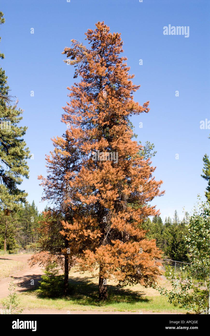 Lodgepole Pine Pinus contorta variety latifolia Also known as Black Pine Scrub Pine and Mountain Pine - Stock Image