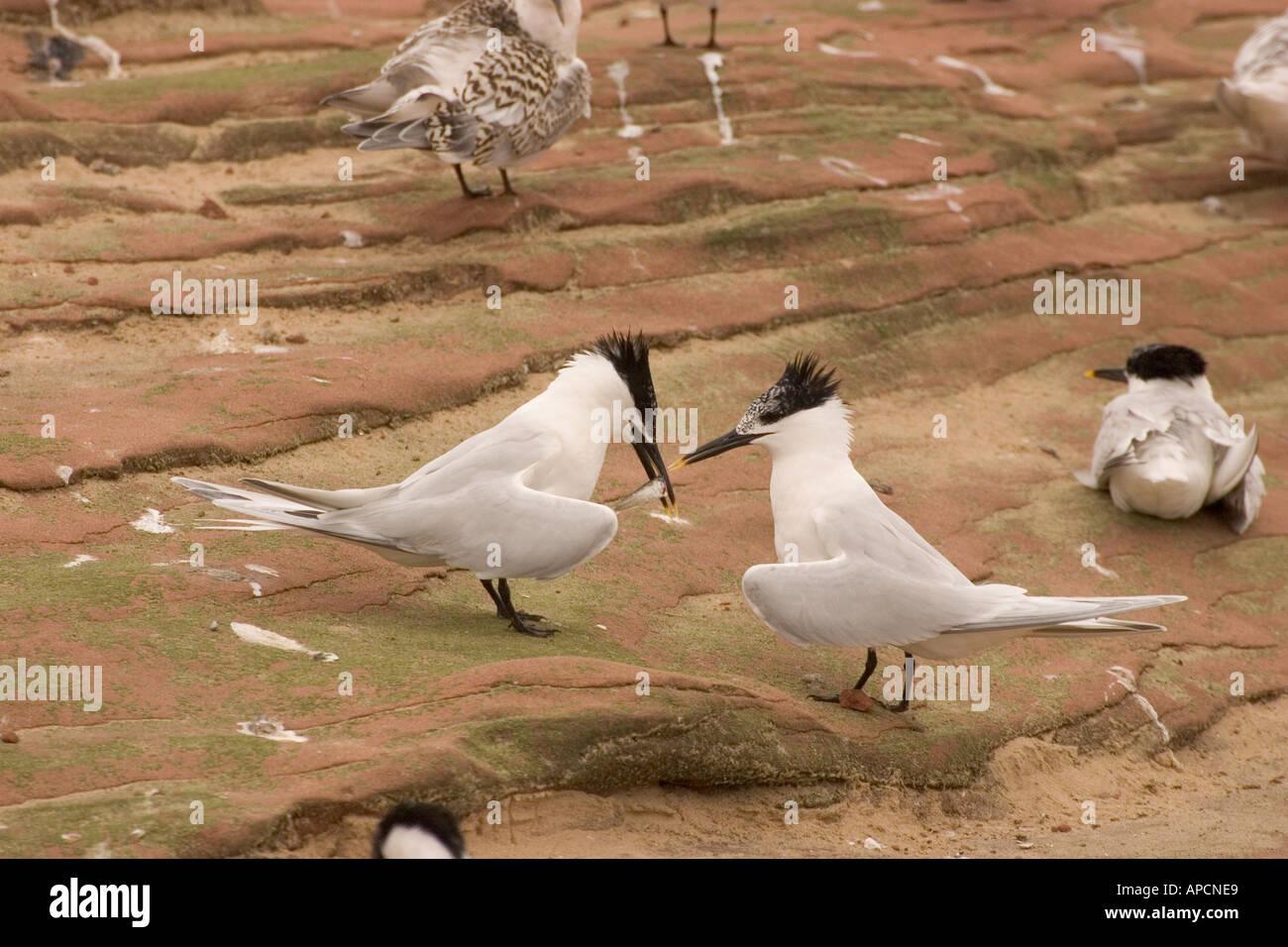 Sandwich Tern sterna sandvicensis courtship display Stock Photo