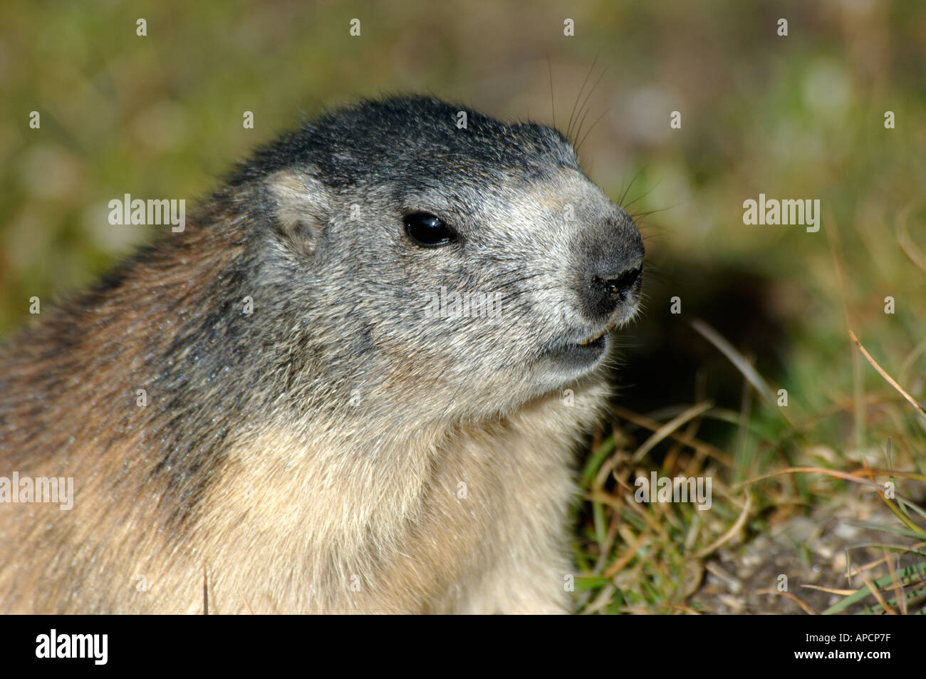 Closeup of alpine marmot, French alps Stock Photo: 5142142 - Alamy