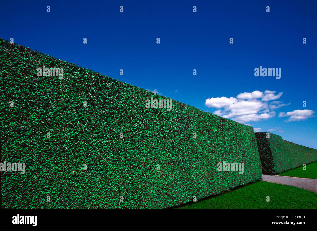 Tall perfectly trimmed hedge - Stock Image