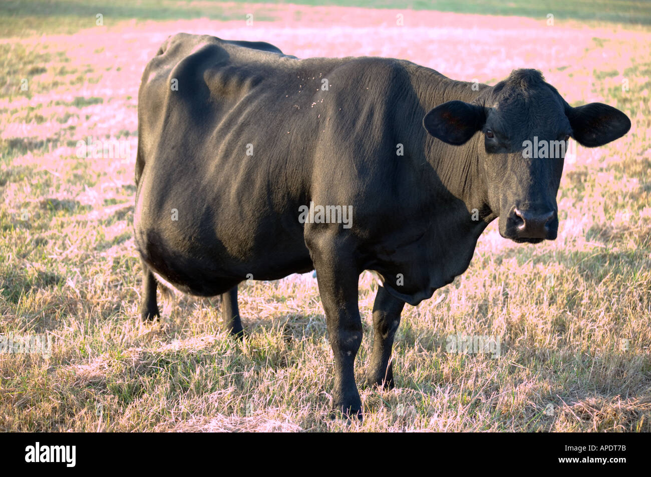 how to tell if your cow is pregnant
