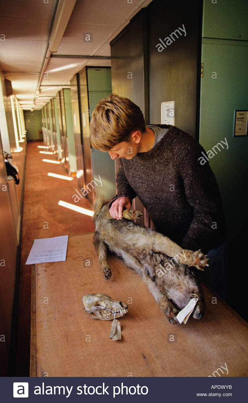 Natural History Museum, London: staff check a wolf skin - Stock Image